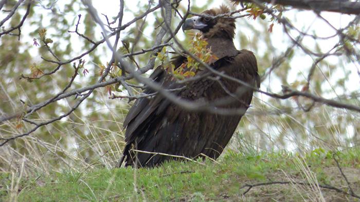 Vultur pleșuv negru